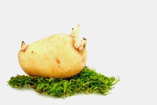 Potato- region of the Andes