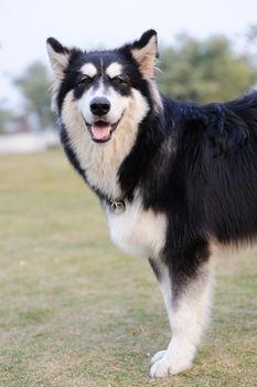 Alaskan Malamute dog standing on the lawn