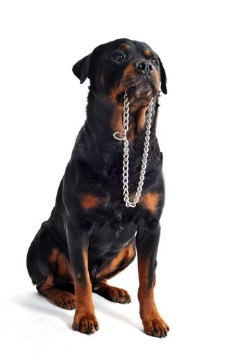 rottweiler and collar