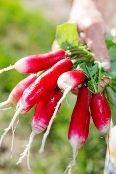 Fresh radish in the woman's hands
