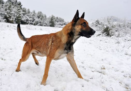 malinois in the snow