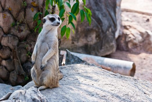 Meerkat with action, can be use for various animal related conceptual design and print outs. Taken on a sunny day.