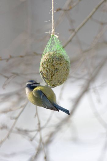 Blue tit eating from a fat ball in winter