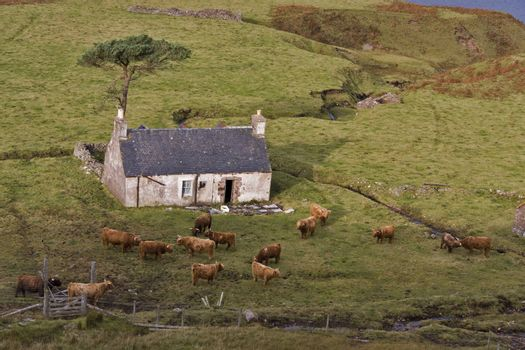 old abandoned house in north scotland with highland cattles