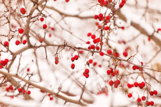 Hawthorn berries under snow