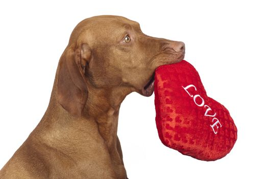 obedient dog holding red heart