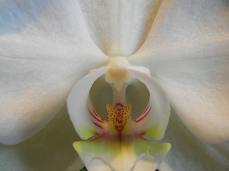 Photo of a white of Phalaenopsis. Close up against black background.