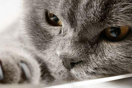 Closeup photo of a quiet British cat. White  background