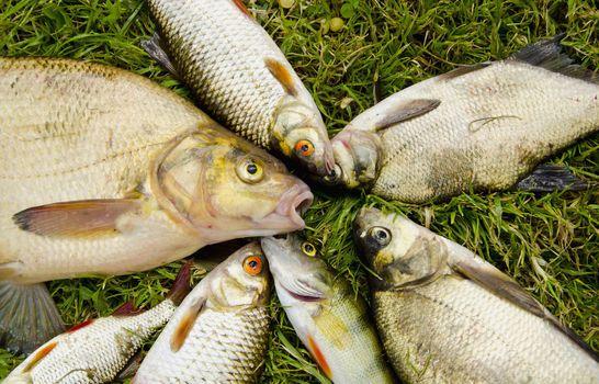 White fish catch on grass. Bream roach perch.