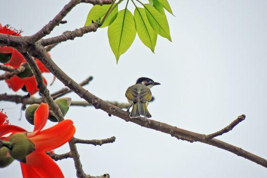 Kapok flower is the  bird's favorite food ,His scientific name is  Bomhax seiba
