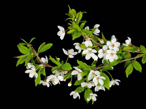 close-up blooming branches of plum tree, isolated on black