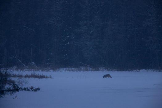 Wild Wolf on River