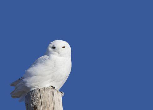 Snowy Owl Perched