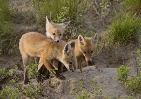 Young Fox Kit