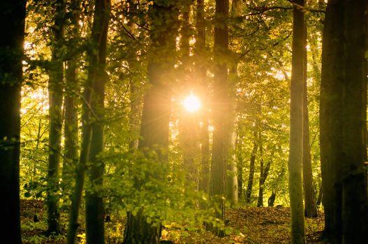 Sunbeam through Forest