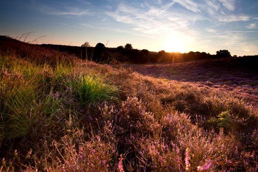 flowering heather at sunset