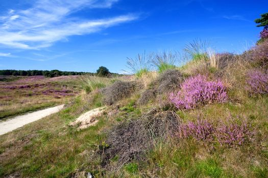 heather flowers on hill in summer