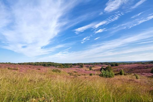 meadows with flowering heather