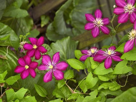 some violet Clematis flowers in leavy back