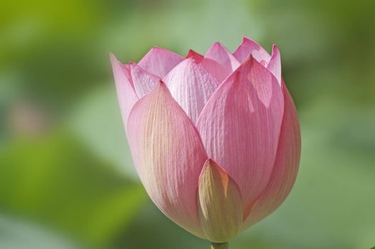 Lotus in full bloom in the summer