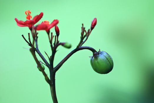 Red flowers and green fruit, the color contrast strongly