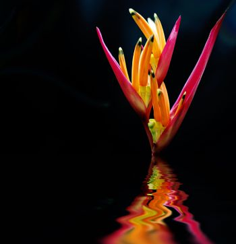 The scientific name of the Bird-of-paradise flower is Strelitzia reginae Banks