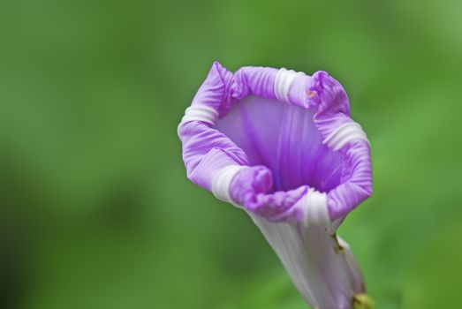 Isolated on the green background of the morning glory