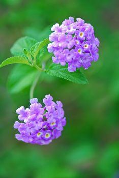 The scientific name of the Common Lantana flower is Lantana montevidensis