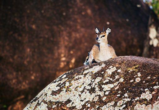 Klipspringer on rocks, Serengeti, Tanzania in Africa
