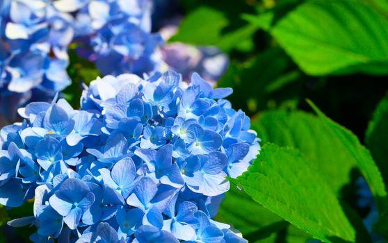 blue flower of Hydrangeaceae