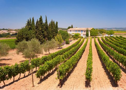 Vineyard, South of France