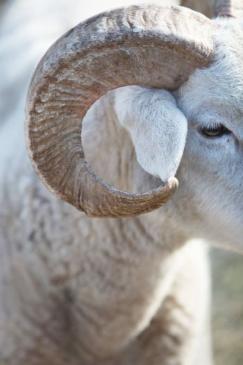 Closeup of the horn of a sheep