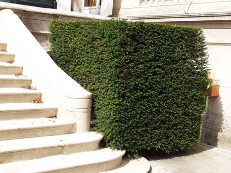 Beautifully trimmed boxwood shrub