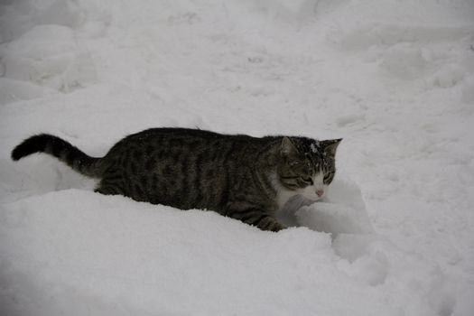 gray cat in the snow