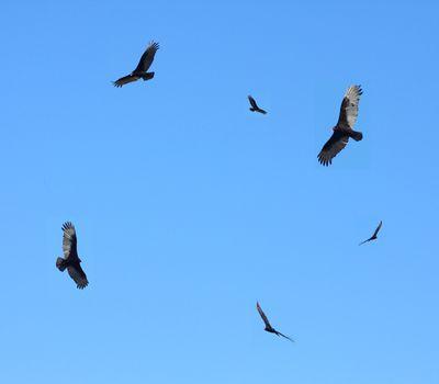 Turkey buzzards in flight in blue sky.