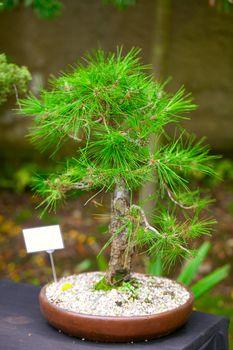 beautiful bonsai in a botanical garden