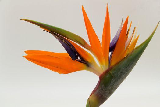 Single Bird of Paradise flower isolated