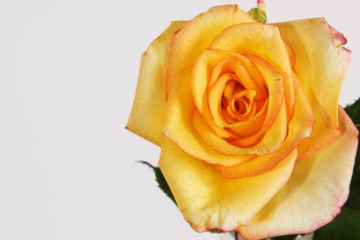 Closeup of Yellow Rose Flower