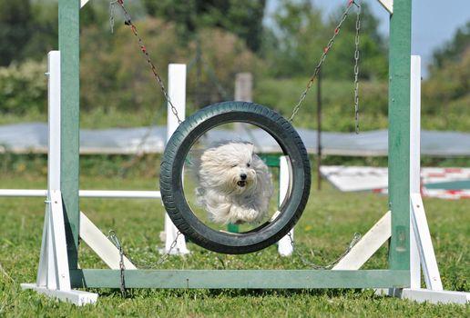 jumping maltese dog