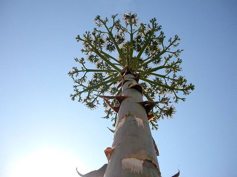 flower of Agave americana