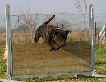 jumping staffordshire bull terrier