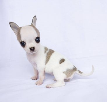 Puppy chihuahua sitting on white fabric