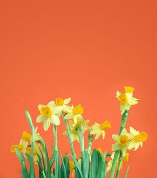 Yellow Daffodils For Congratulation