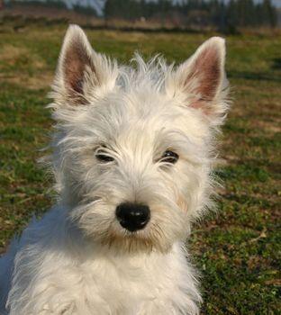 puppy west highland terrier
