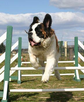 Saint Bernard in agility