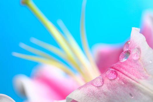 Dew on petal