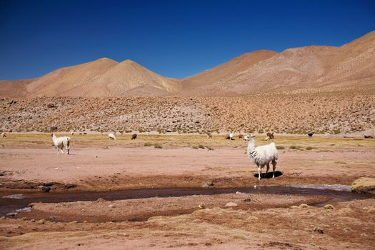 lamas in Atacama desert, Chile