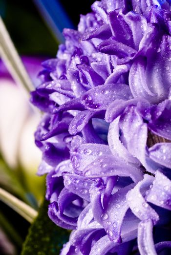 blue fuzzy (hyacinthus orientalis) with waterdrops