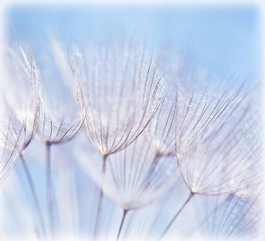 Blue abstract dandelion flower background, extreme closeup with soft focus, beautiful nature details