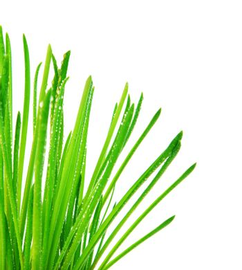 Green grass border, fresh spring herbal leaves, abstract wet floral plant isolated on white background, springtime nature